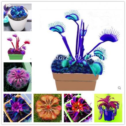 Sales! 200 pcs Potted Insectivorous Dionaea Muscipula Giant Venus Flytrap bonsai Carnivorous Plant Easy to Grow Free Shipping