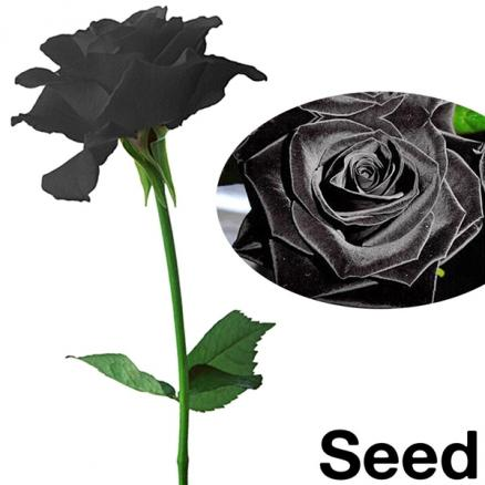 50pcs Black Rose Flower Plant Seeds (TDS-378201)